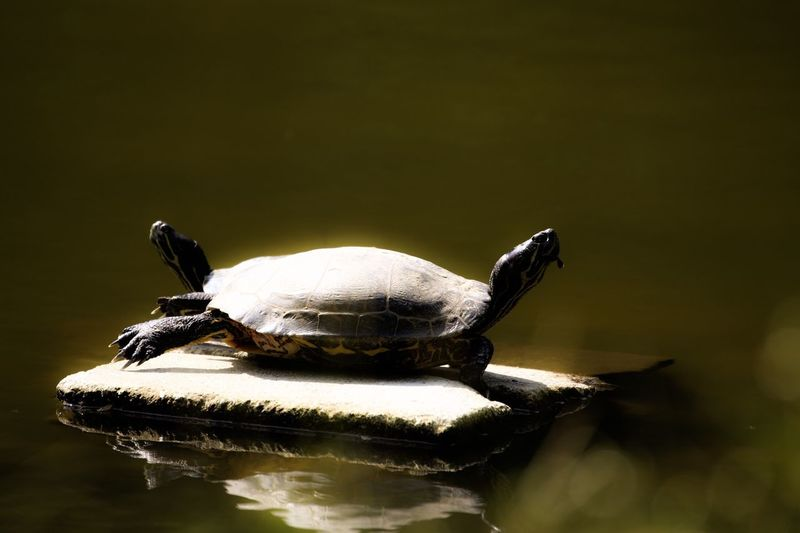 Animals In The Wild Animal Themes One Animal Turtle Animal Wildlife No People Nature Close-up Reptile Day Tortoise Outdoors Water Tortoise Shell 亀 野生動物 日本 Turtle
