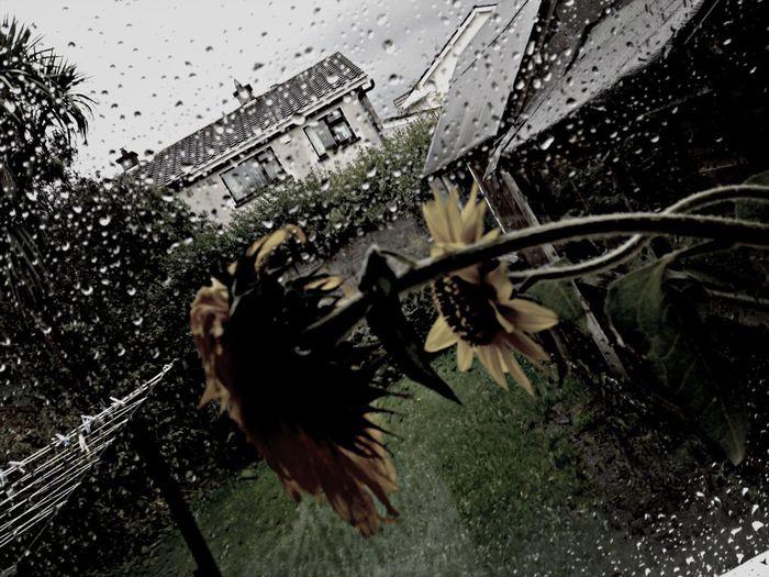 Sad, Wet Day Droopy Sunflower Rainy Day