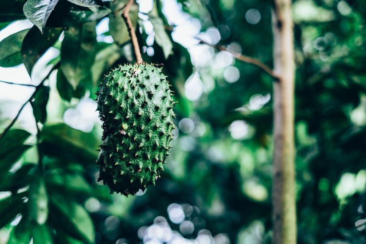 Beauty In Nature Bokeh Branch Close-up Copy Space Custard Apple Evergreen Focus On Foreground Fruit Graviola Green Color Growth Guyabano Herbal Leaf Low Angle View Medicinal Nature Outdoors Plant Soursop Tree Full Length Food EyeEmNewHere