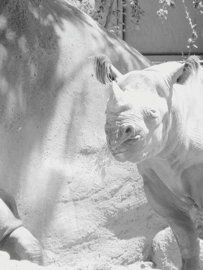 Animal Themes Sunlight One Animal No People Animals In The Wild Close-up Nature Shadow Beauty In Nature Zoo Animals In The Wild Black Rhino Zoo Animals  Endangered Species Endangered Animals Animal Wildlife Black And White Photography Black And White Collection