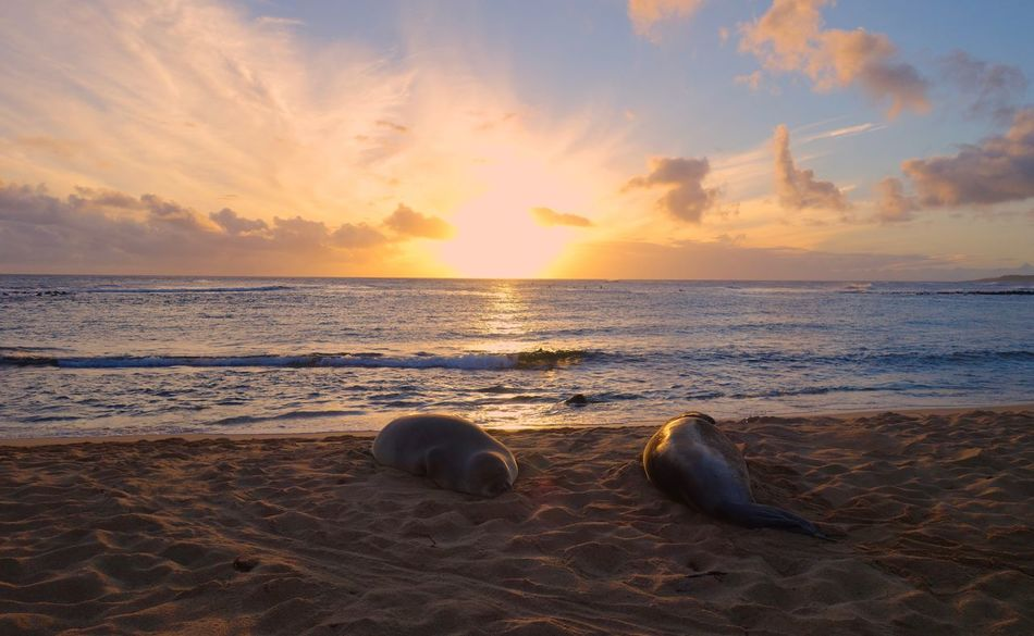 Hawaii Kauai Hawaii Pacific Ocean Sea Shore Seascape Sunbeam Yellow Sky Aquatic Mammal Two Animals Animals Sleeping Sea Lions Sea Sunset Beach Sand Nature Beauty In Nature Horizon Over Water Water Scenics Sky Tranquil Scene No People Tranquility Cloud - Sky Outdoors Sunlight Day Animal Themes