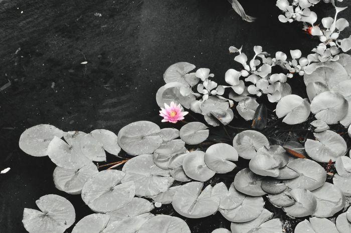 Lumière sur une fleur de nénuphar à la Bambouseraie d'Anduze Waterlily Flower Black And White Photography Holiday Memories South France Anduze La Bambouseraie