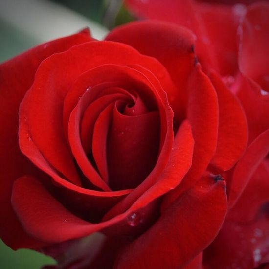 Flower Petal Nature Beauty In Nature Fragility Flower Head Red Freshness Rose - Flower Growth Close-up Botany Springtime Plant
