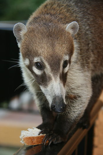 kuati Animal Themes Mammal Kuati Beauty In Nature No People Day Outdoors The Week On EyeEm
