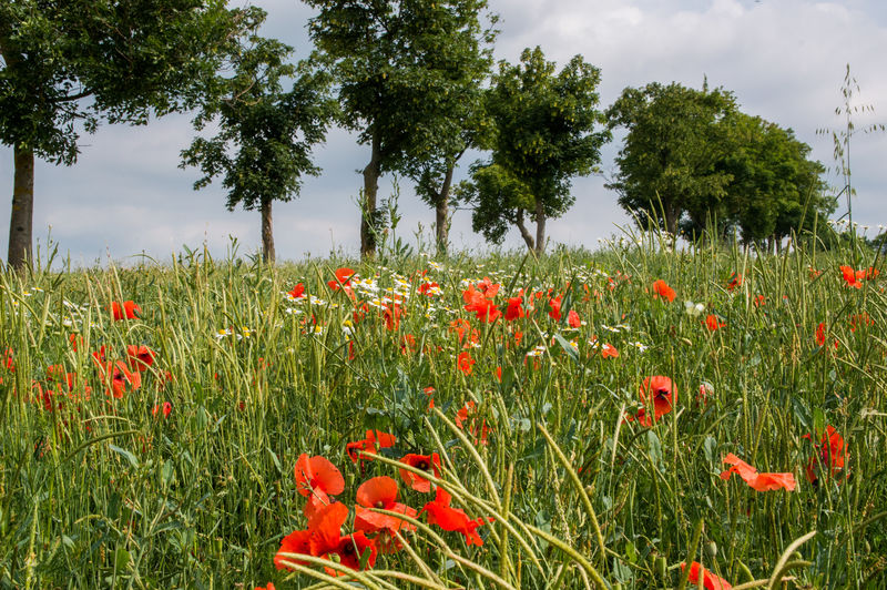 Red poppies growing on field against sky