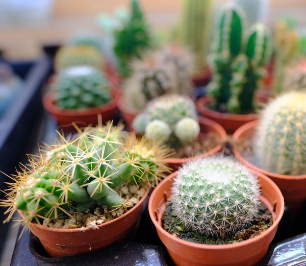 Close-up of cactus plants in pot