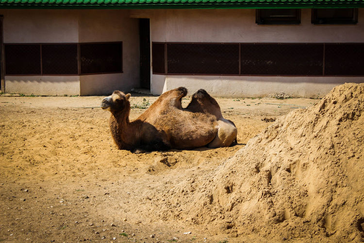 Animal Themes Animals In The Wild Day Domestic Animals Livestock Lying Down Mammal Nature No People One Animal Outdoors Relaxation Sand