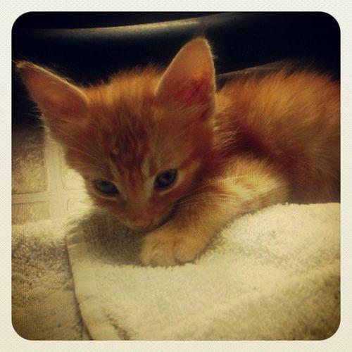 Jengo Kitten Cute Orange Cheng love