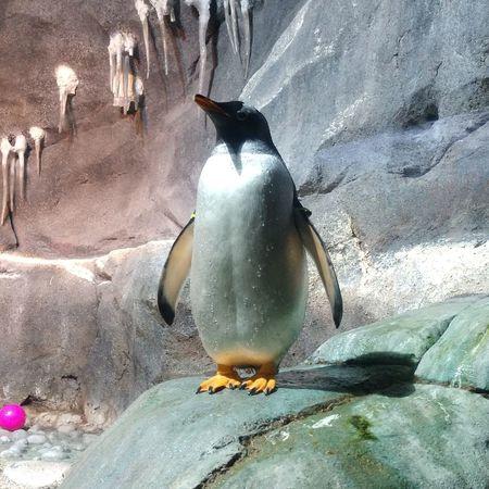 Tuxedo Water Sand Bird Penguin Close-up Aquatic Mammal