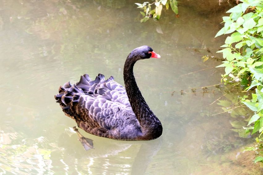 Black swan Black Swan Nature Animals In The Wild Animal Photography Autumn GERMANY🇩🇪DEUTSCHERLAND@ EyeEm Selects Outdoor Black Swan Bird Water Swimming Swan Lake Red Water Bird