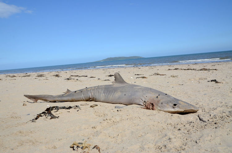 Washed Up On The Beach Shark