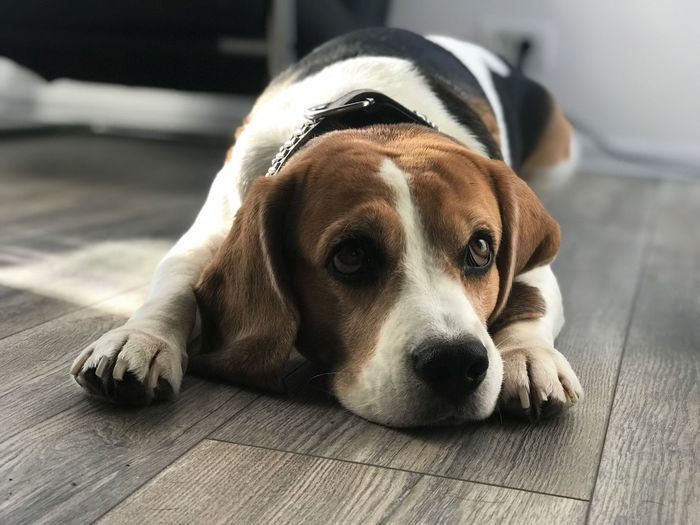 Beagle Dog Posing Beaglelovers Beagle Dog Canine One Animal Pets Animal Themes Domestic Animal Domestic Animals Mammal Relaxation Indoors  No People Portrait Lying Down Resting Looking At Camera Focus On Foreground Close-up