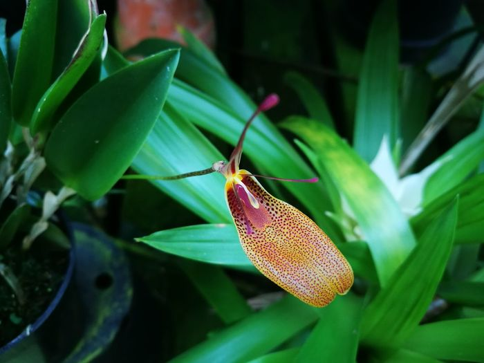 Flower Flower Head Orchid Orchidflower Orchidee Orchid Flower Restrepia Green Color Plant No People Close-up Nature Beauty In Nature