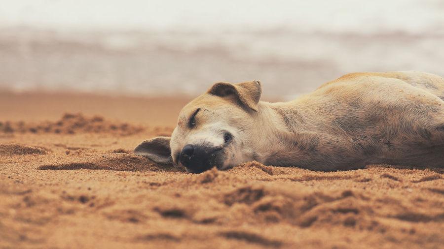 View of an animal lying on sand