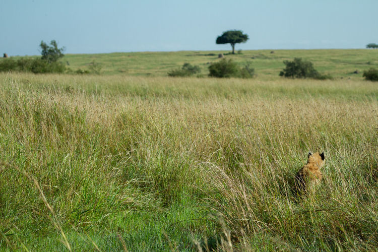 Hyena cub hiding in the tall grasses of the masai mara landscape in kenya