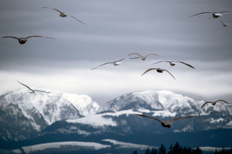 Seagulls flying over snowcapped mountains against sky