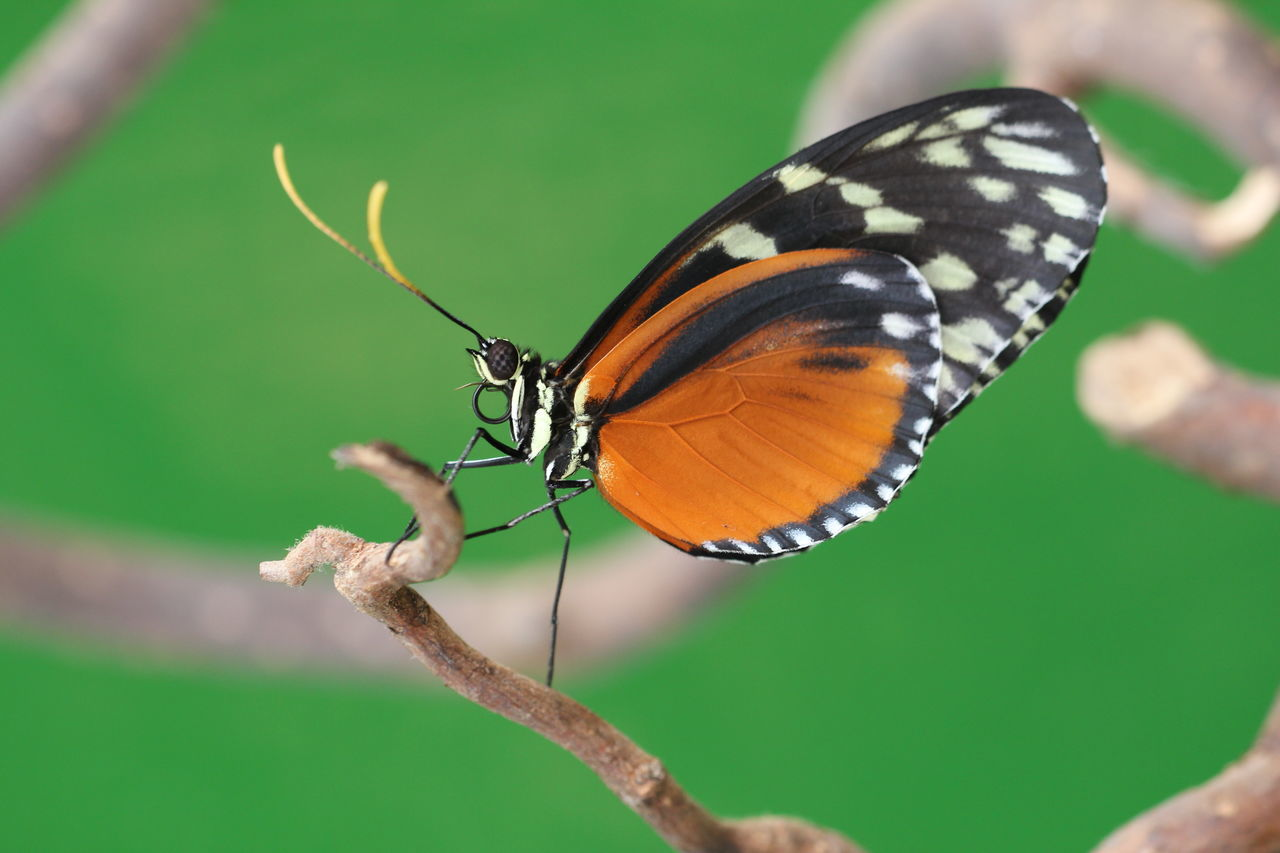 insect, butterfly - insect, animals in the wild, one animal, animal themes, nature, butterfly, no people, animal wildlife, close-up, outdoors, day, beauty in nature, freshness, spread wings, fragility