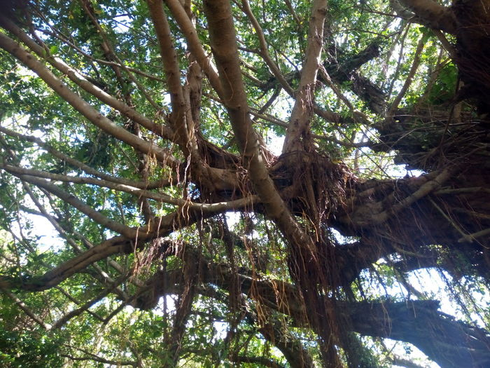 Banyan Tree Ficus Microcarpa Beauty In Nature Forest Growth Low Angle View Nature No People Plant Part Tranquility Tree Tree Canopy  Tree Trunk 10