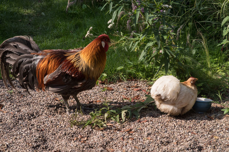 Garden Photography (cont.) Chicken Plant Animal Themes Animals Domestic Animals Hen Rooster Two Animals