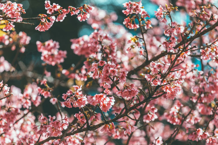 Close-up of pink cherry blossoms blooming on tree branches