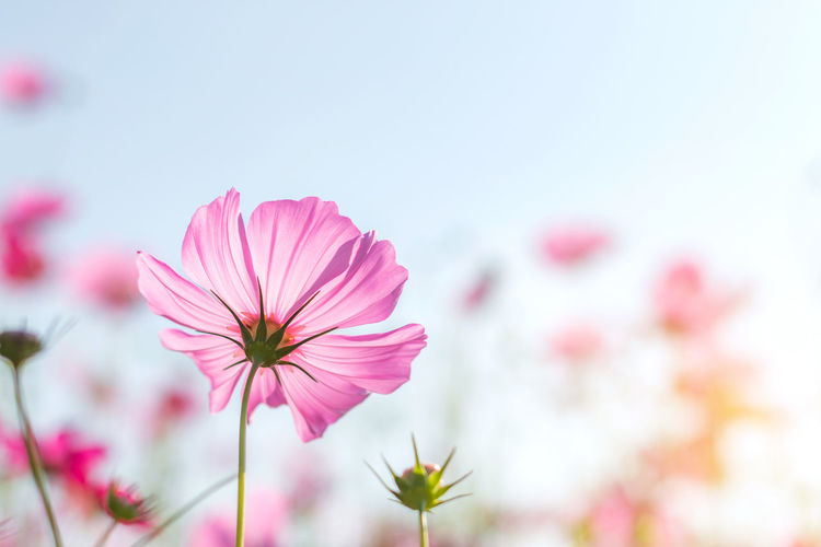 Beautiful purple cosmos flower in garden with sunlight and blue sky. Autumn Background Beautiful Beauty Bloom Blooming Blossom Blue Bright Close-up Closeup Color Colorful Cosmos Cosmos Flower Environment Field Flora Floral Flower Fresh Garden Green Landscape Meadow Natural Nature Outdoor Petal Pink Plant Purple Season  Sky Spring Straw Straw Flowers Summer Violet White No People Flowering Plant Beauty In Nature Freshness Growth Flower Head
