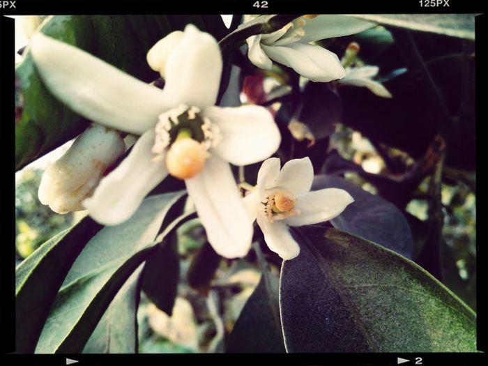 Flor de Citrus reticulada cv 'Satsuma' Planting