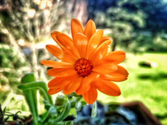Flower Beauty In Nature Orange Color Nature Petal Flower Head Close-up Blooming Plant