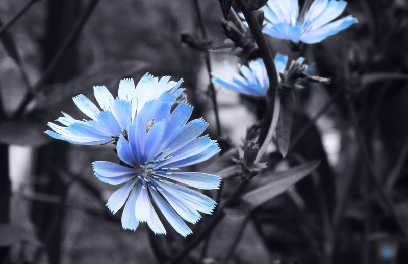 Blue Blue And Gray Blue Color Blue Flowers Blue Pop Chicory Chicory Flower Close-up Floral Flower Flower Collection Flower Photography Flowerporn Flowers, Nature And Beauty Flowers,Plants & Garden Fragility Greyscale In Bloom Nature Petal Plant Pop Of Color Radicchio Selective Focus Stem