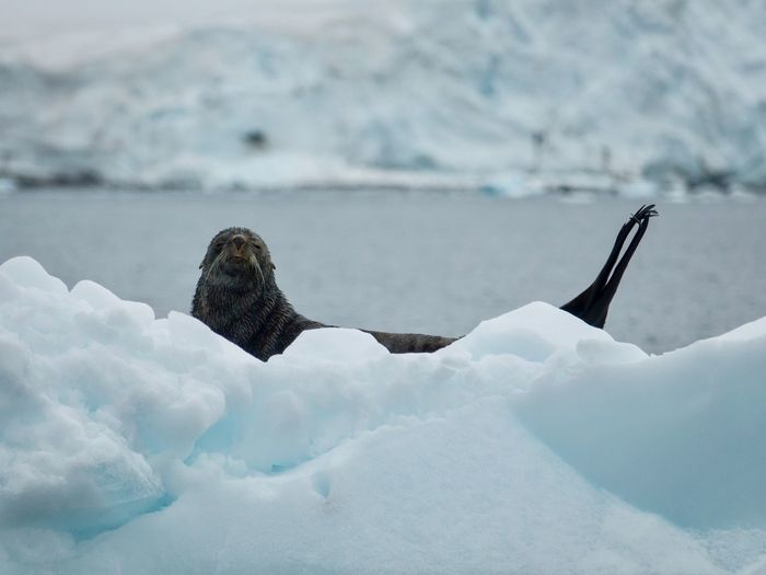 Seal Nature No People Winter Snow One Animal Animals In The Wild Day Cold Temperature Outdoors Water Close-up Sea Mammal Iceberg Sky Animal Themes Beauty In Nature Bird