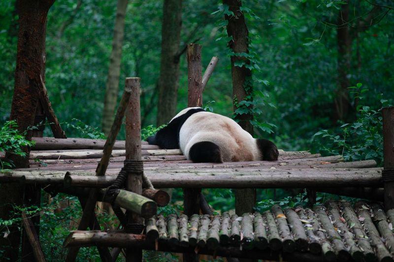 Panda Panda Life Slepping Sleepy Sleepy Panda Panda Lazy Life Animal Panda Tree Plant Forest Nature Animal Themes Animal Animal Wildlife Animals In The Wild Day Land No People