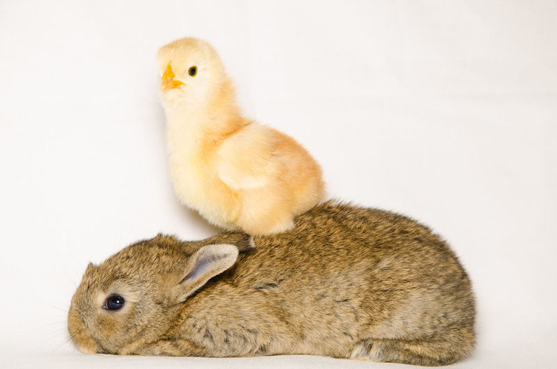 Portrait of funny animals: chick over baby bunny Chicken Easter Farm Funny Puppy Love Wonderful Adorable Amazing Animal Themes Animal Wallpaper Animals Bunny  Card Crazy Domestic Animals Fantastic Lovely No People Pet Pets Portrait Puppy Rabbit Spring Wallpaper