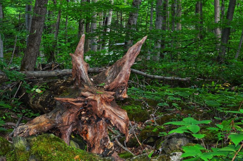 Monsters of the forest. Nature Outdoors Nikon Photography Nikon D3200 Summer Views Tree Forest Tree Trunk Branch Close-up Green Color Wilderness WoodLand Fallen Tree Dead Tree