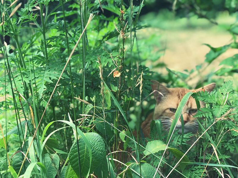 Hiding Orange Tabby Animal Photography Animal Themes Animal Cats Of EyeEm Cat Outdoors Cat Lovers Cat Plant Animal Themes Green Color Animal One Animal Growth Nature Mammal No People Vertebrate Day Leaf Plant Part Grass Pets Domestic Domestic Animals Land Animal Wildlife Outdoors