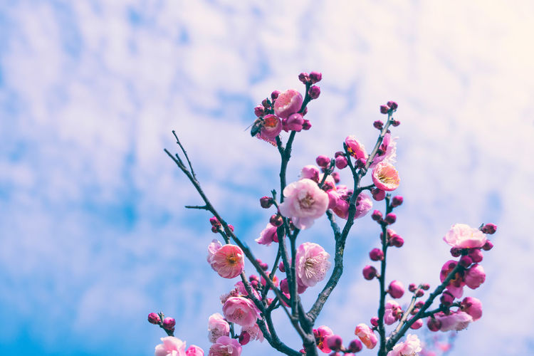Spring plum blossoms Plum Blossom Spring Flower Growth Close-up Nature Beauty In Nature Plant Flowering Plant Vulnerability  Fragility Freshness Focus On Foreground Flower Head Pink Color Blossom No People Springtime Tree Branch Petal Day Outdoors