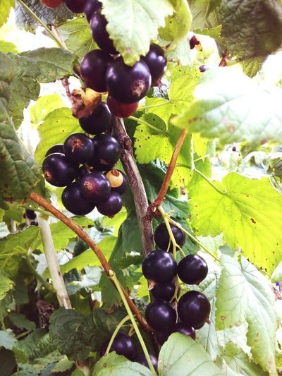 Black currant Currant Black Currant Fresh Nature Garden Berries Leaves Summer July Sunny Day Useful Meal Meal Vitamins Vitamin C Agriculture Agricultural