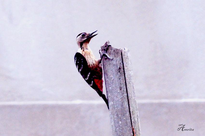 Woodpeckar Birdwatching Bird Singing EyeEm Birds Relaxing Check This Out Enjoying Life Nature_collection