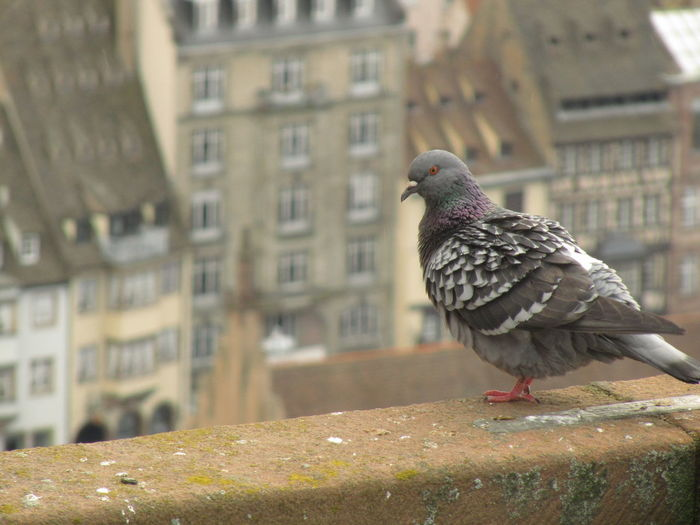 pigeon, cathédrale Animal Animal Themes Animal Wildlife Animals In The Wild Architecture Bird Building Exterior Built Structure City Close-up Day Focus On Foreground No People One Animal Outdoors Perching Pigeon Retaining Wall Vertebrate Wall