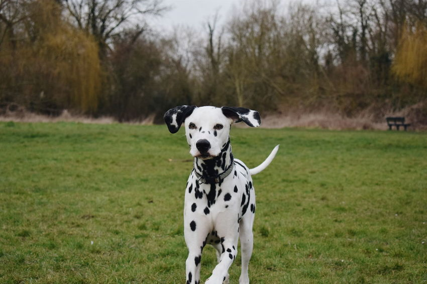 Dalmatian Dalmatiansofinstagram Dalmatians Dogs Pets Dogs Of EyeEm VSCO Instadaily Taking Photos