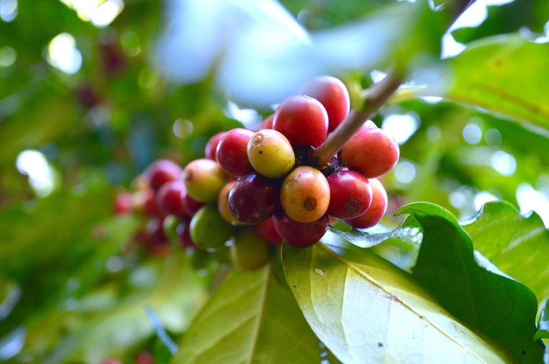 Low angle view of coffee fruits growing outdoors
