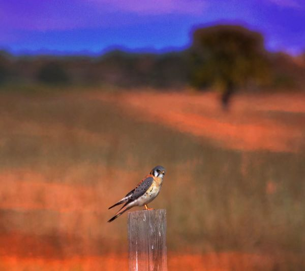 American Kestrel another take, another edit. Another Edit Junkie hope you like it Bird Animals In The Wild One Animal Animal Themes Focus On Foreground Animal Wildlife Perching Nature Outdoors No People Day Close-up Sky