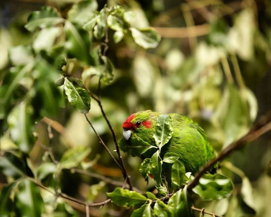 Parakeet having a feed. Green Native Birds New Zealand Parrot Animals In The Wild One Animal Animal Themes Perching Nature Animal Wildlife Green Color Bird Leaf Plant Tree Outdoors Branch Beauty In Nature