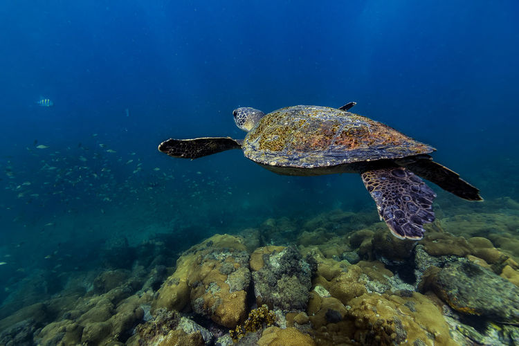 Sea turtle swimming in sea