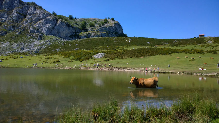 View of a cow at Lake Ercina in Lakes of Covadonga, Asturias - Spain Animal Asturias Covadonga Cow Ercina Green Lago Ercina Lagos De Covadonga Lake Lakes  Landscape Mountain Nature Outdoors Peak Picos De Europa Picturesque Reflection Rural Scenics Sightseeing Tourism Travel Travel Destinations Water