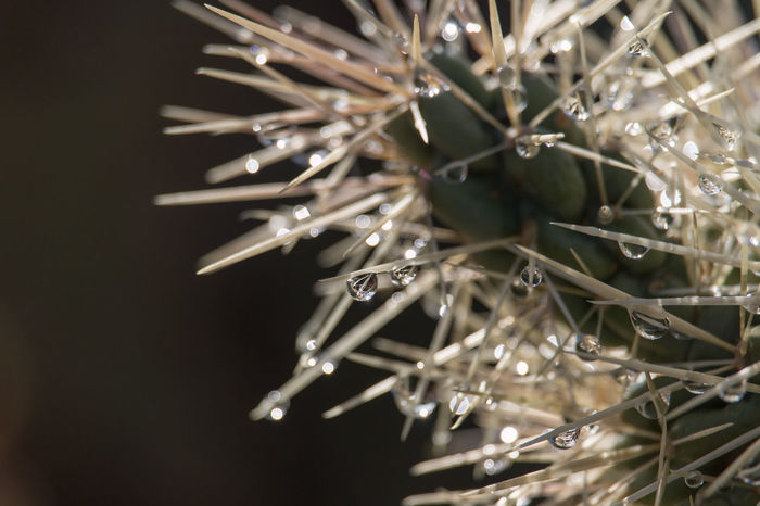 Water Drops Cacti Cholla Refraction Arizona Desert Nature