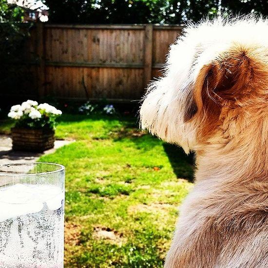 Dog. Sun. Gin. Great afternoon! Jackrussellshitsu Bombaysapphire Sunshine