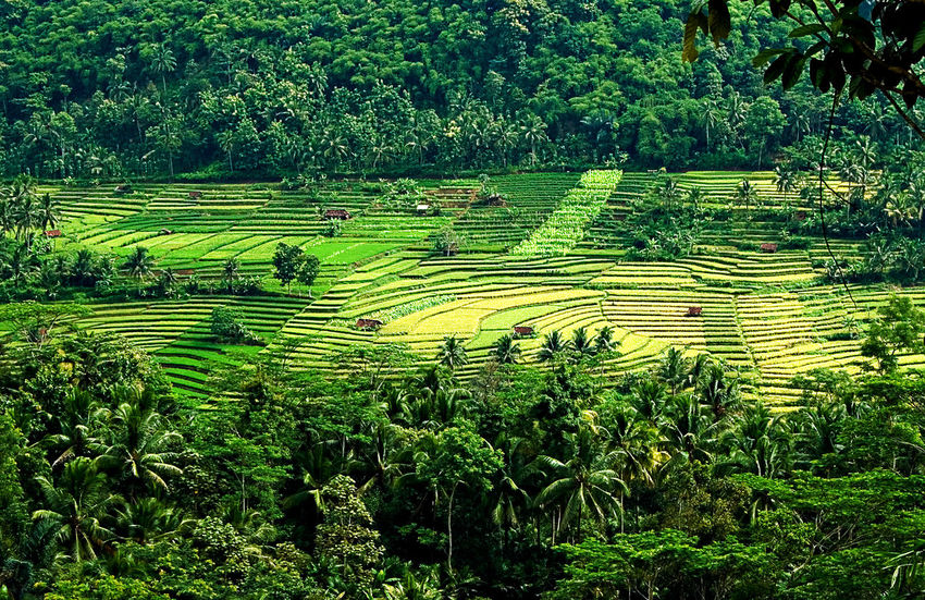 Paddy Field Terrace An Eye For Travel Agriculture Beauty In Nature Day Field Growth Landscape Mountain Nature No People Outdoors Rice Paddy Terraced Field Tree