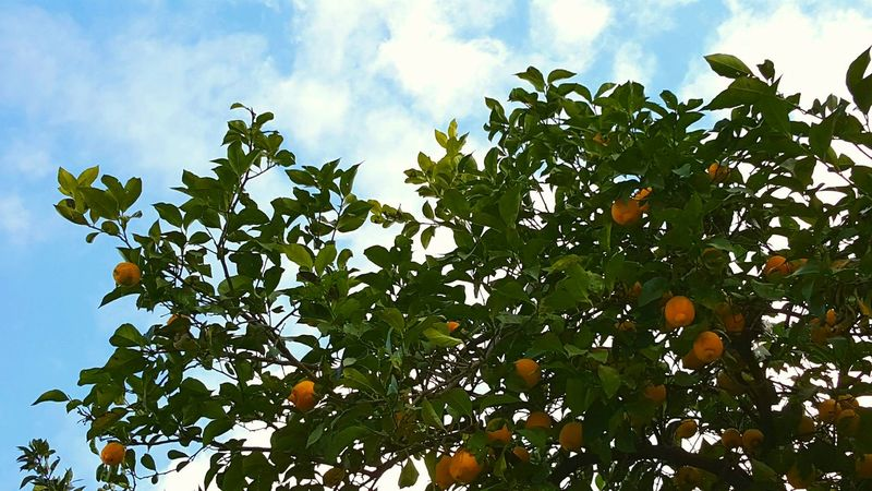 Citrus Tree Citrus Fruit Orange Orange - Fruit Mandarin Mandarin Oranges Mandarin Tree Sky And Trees Sky And Clouds Leaf Sky Nature Growth Fruit Green Color Agriculture Cloud - Sky Low Angle View Outdoors Branch No People Beauty In Nature Freshness Plant Rural Scene Day Healthy Eating Food