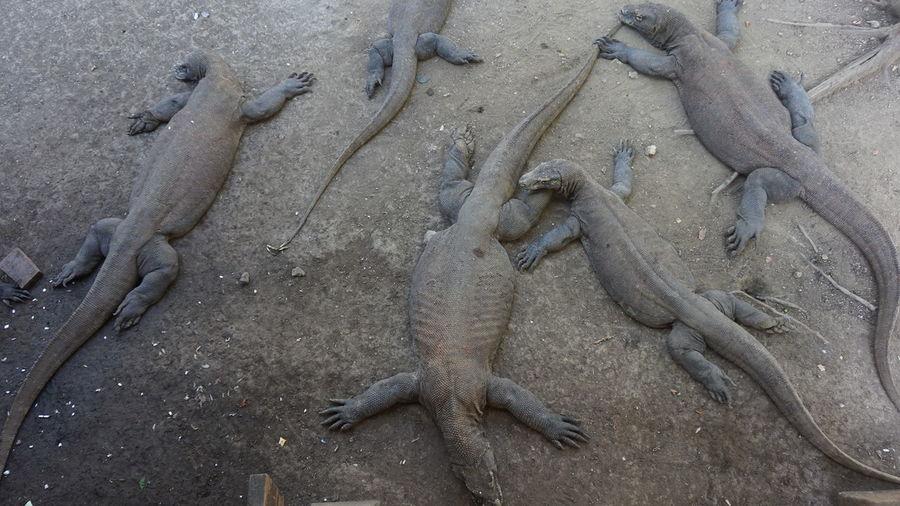 High Angle View Of Komodo Dragons At Beach