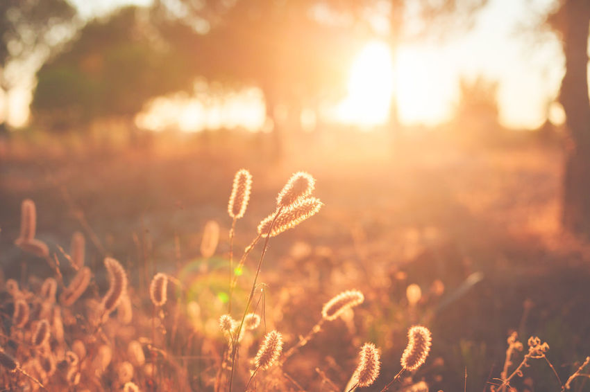 Sunlight Plant Nature Growth Sunset Beauty In Nature Tranquility Land Back Lit Field Sky Lens Flare No People Sun Sunbeam Outdoors Freshness Day Grass Focus On Foreground Bright
