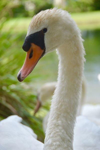 This swan came right up to my patio door. Swan Swans Wildlife Wildlife & Nature Nature South Florida Life Eyeemphoto
